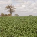 Field beans April 2012