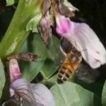 Honey bee approaching field bean flower, April28-2012
