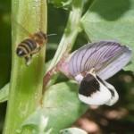 Honey bee zooming in on field bean flower, April 2012
