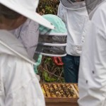 Hive opened - examining the bees.