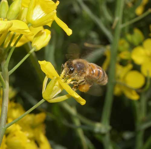 Honey bee with tongue out and feeding on oil seed rape flower.