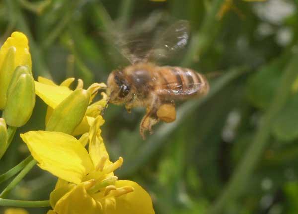 Honey bee loaded with pollen approaching oil seed rape flower