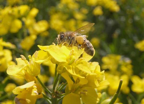 Honey bee loaded with pollen working oil seed rape flower