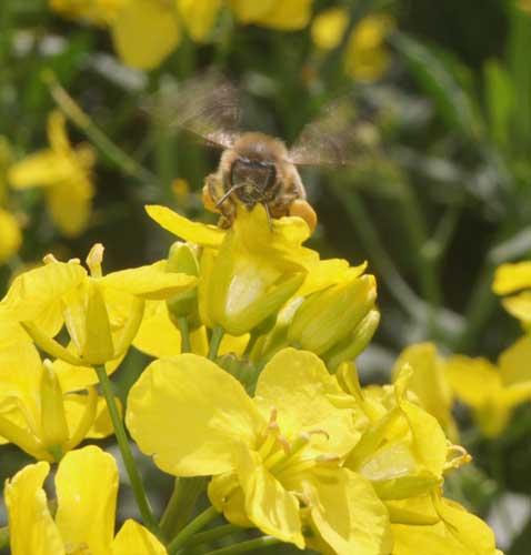 Honey bee on oil seed rape flower