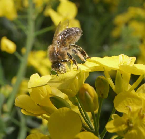 Head down into an oil seed rape flower