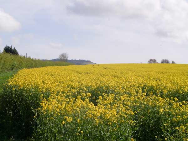 Field of oilseedrape, Albourne