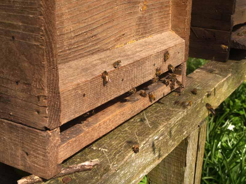 Honey bees at the hive entrance