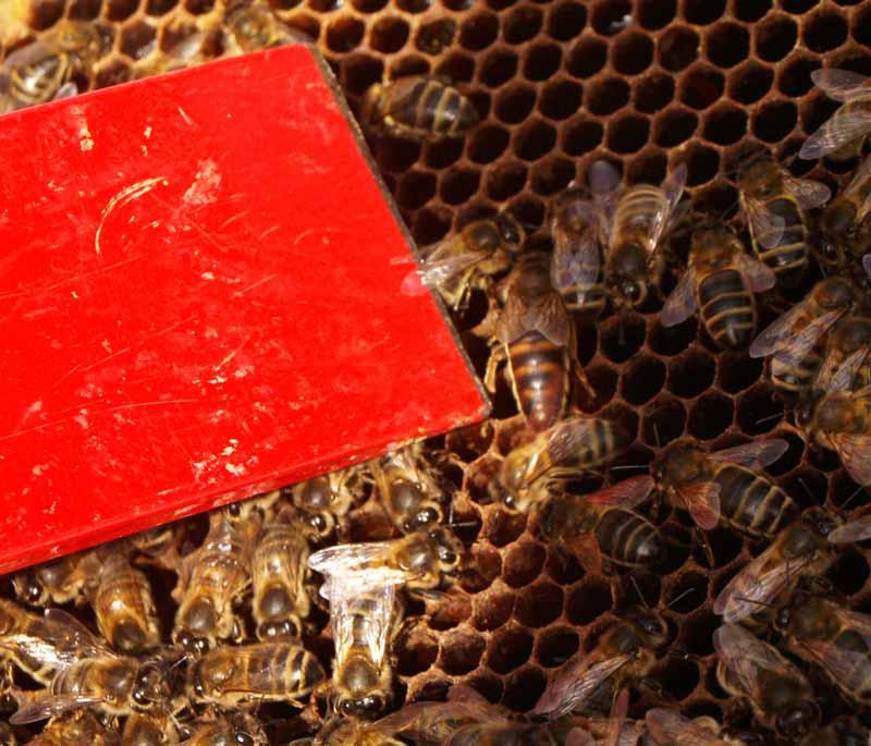 A poor quality queen honey bee