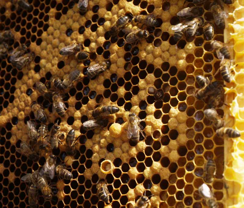 Nice honey bee brood