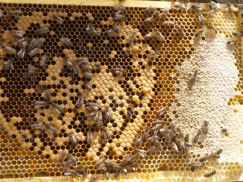 Nice honey bee brood and stores