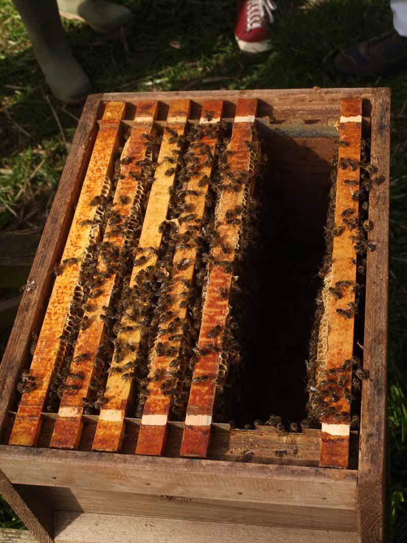 Honey bees nice and quiet