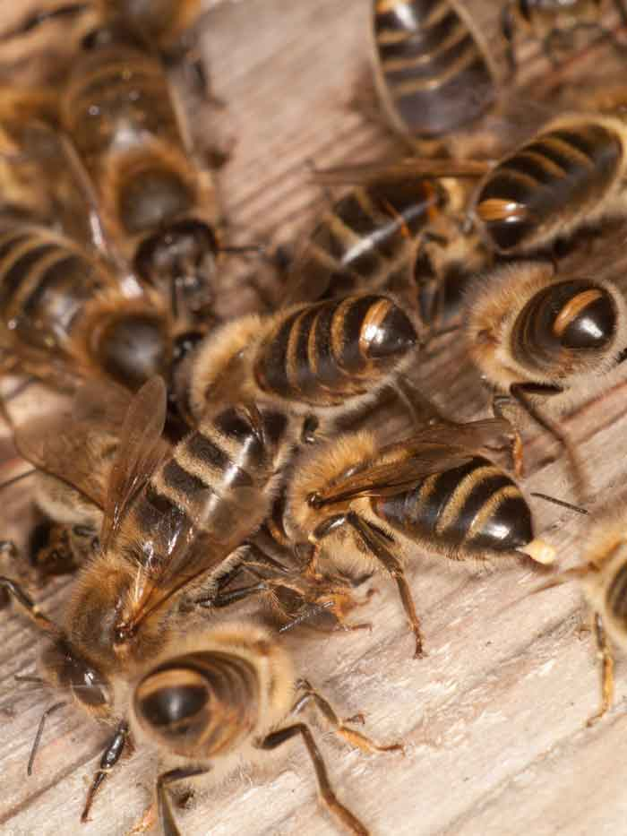 Bottoms up: honey bees using their Nasonov glands to tell others where they are