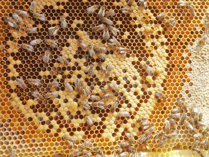 Classic honey bee frame of hatching brood and stores