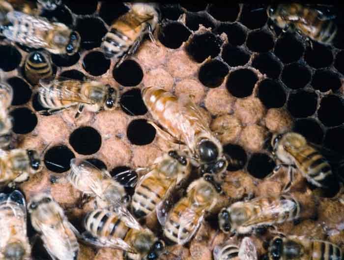 A fine honey bee queen