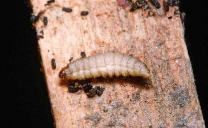 Greater Wax Moth larva; Galleria mellonella