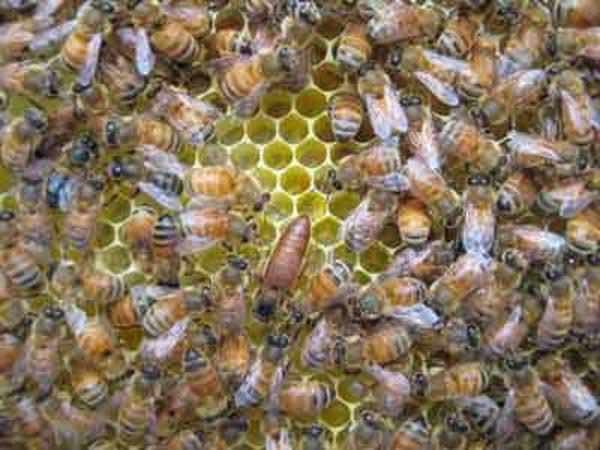 Honey bee queen: Let's lay eggs