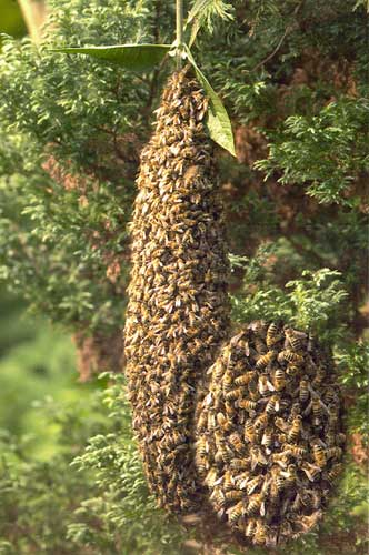 Lost bees: honey bee swarm and caste