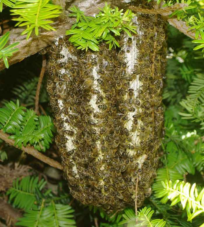 Nice swarm of honey bees with wild comb