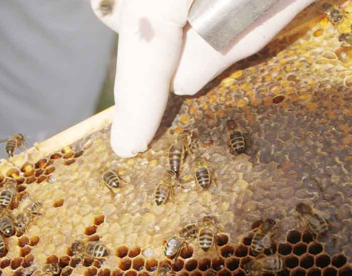 Honey bees: There the's the queen