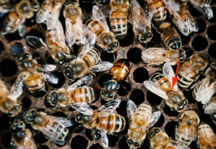 Varroa and virus infected honey bees