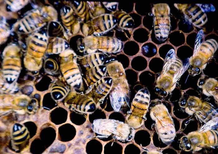Varroa mite on honey bee thorax