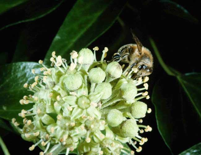 Honey bee in autumn: I lovely ivy nectar