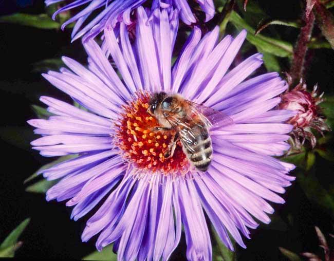 honey bee on nectar duty; pollen sacs empty