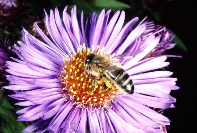 Honey bee on pollen duty; pollen sacs full