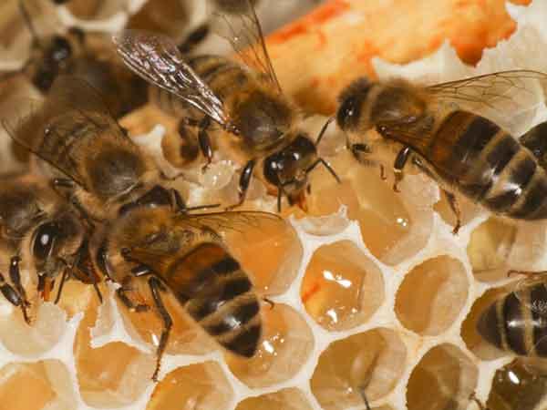 Plenty of nectar, Whitlands apiary