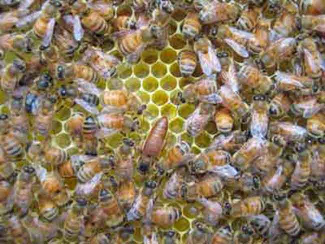Honey bee queen at the Whitelands apiary