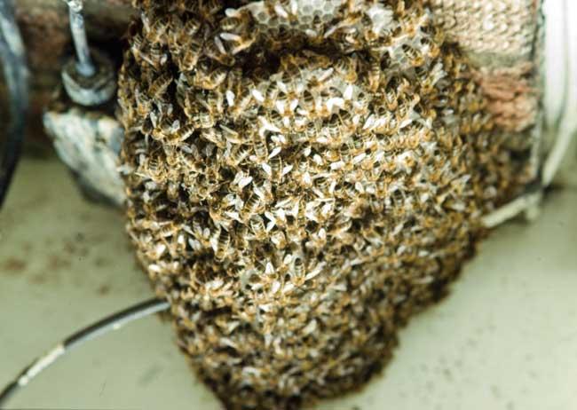 Honey bee swarm on electrical box